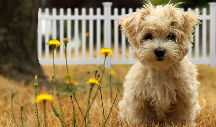 Backyard Fence for Dogs | WamBam Fence  This puppy is so adorable!Wambam Fence, Little Puppies, Backyards Fence For Dogs, Dogs Proof, Malt Puppies, Fluffy Puppies, Aluminum Fence, Fence For Little Dogs