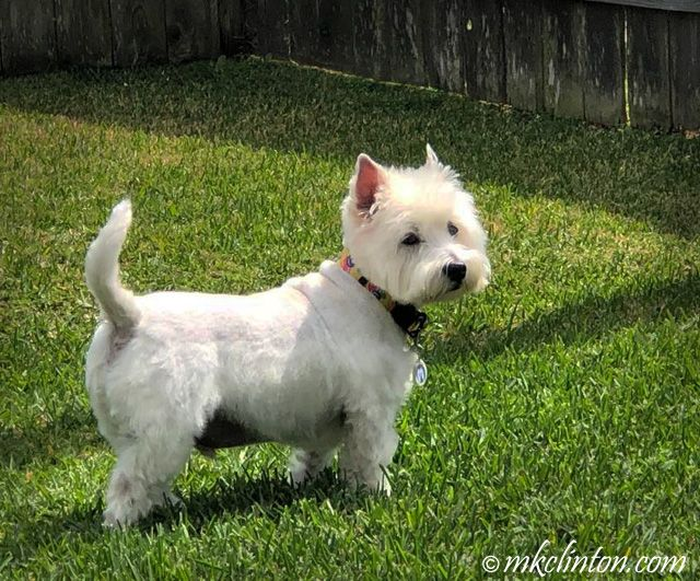 Barking From The Bayou West Highland Terrier Highlands Terrier