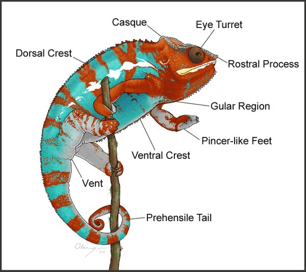 """This is the best site I have found for caring for Chameleons.  I will call it """"First time Chameleon care for Dummies"""""""