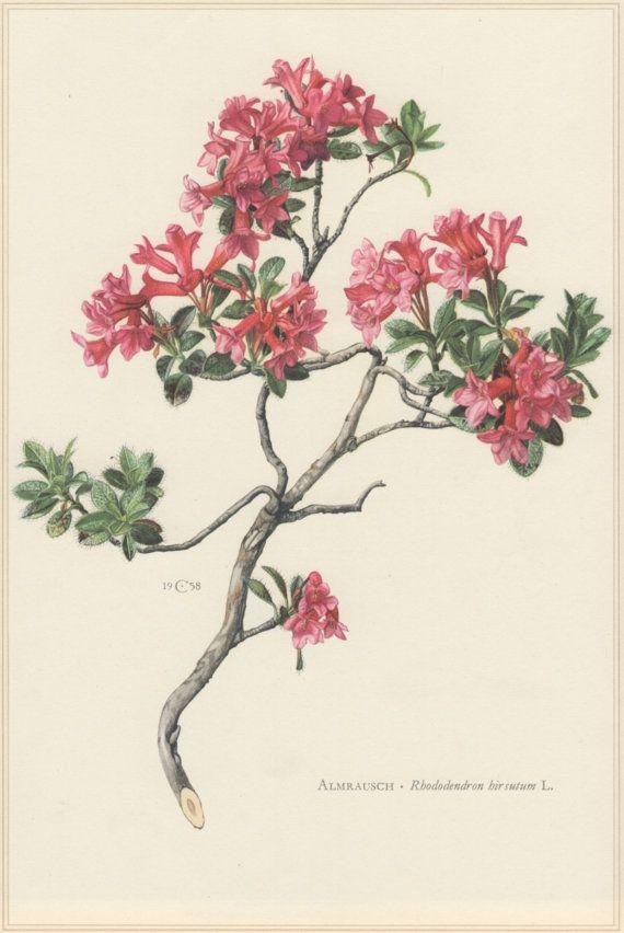 1960 Botanical Print Rhododendron hirsutum Hairy by Craftissimo