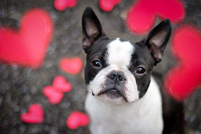 Love / Boston Terrier Puppy /  Pet Photography / Prop Ideas / Valentine's Day Photo Session Idea ♥