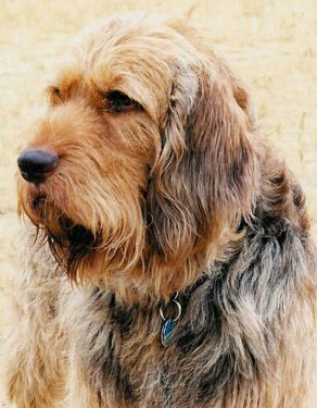 Otterhound: Definitely one of the world's rarest breeds. Only about 1,000 exist worldwide.