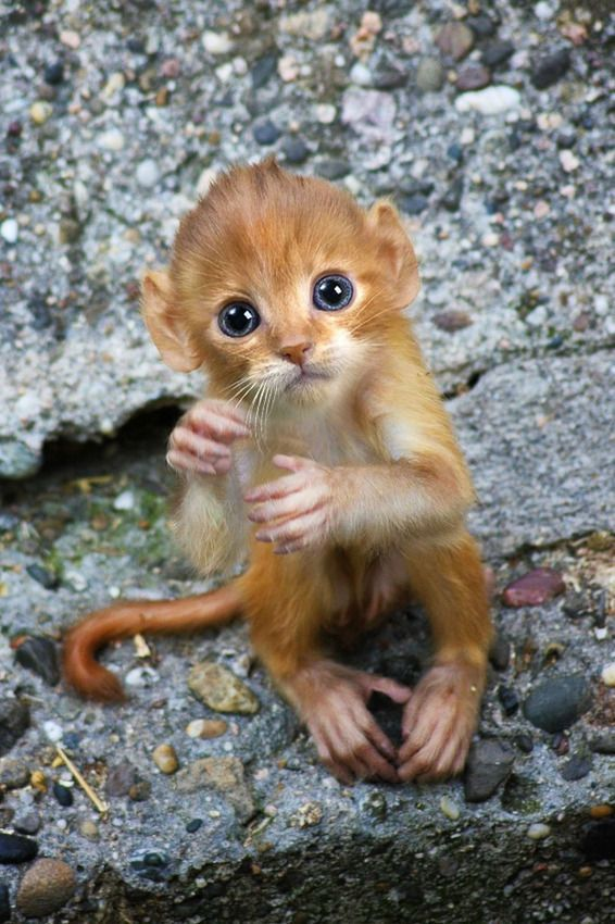 Adorable animal hybrid called  a mitten - a photo shopped combination of a monkey and a kitten. So cute!