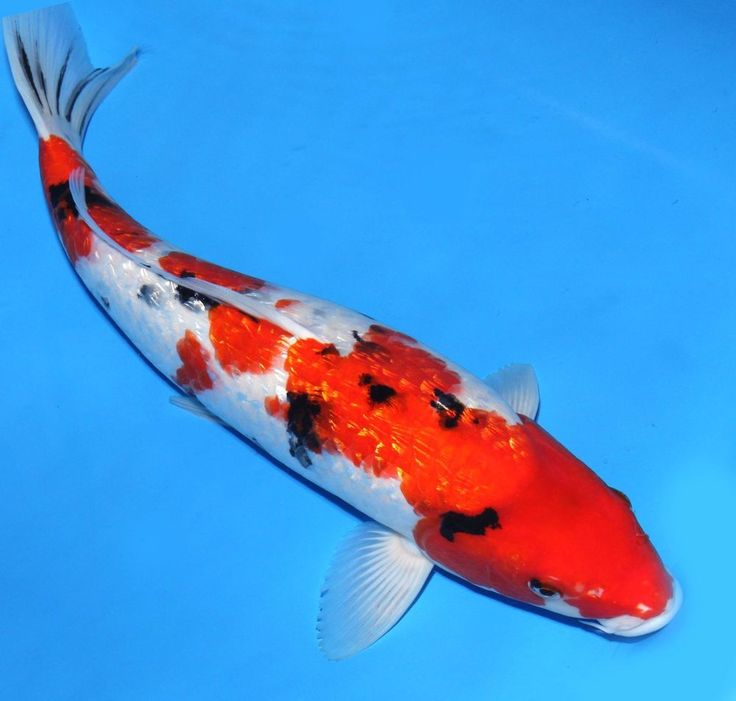 417 best images about koi fish on pinterest 14 zippers for Red and white koi fish