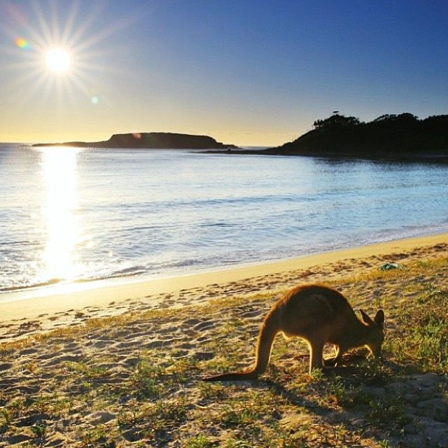 Kangaroo at the beach, South Durras New South Wales #Australia by davemc(Instagram)