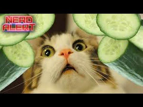 Funny cats - cats scared of cucumbers compilation - cats vs cucumbers - funny cats 2016 -  #animals #animal #pet #cat #cats #cute #pets #animales #tagsforlikes #catlover #funnycats funny cats – funny cats compilation [most see] funny cat videos ever part 1. top funny cat and dog dancing and singing in the world – mkls. funny cats funny cat videos best funny videos 2015... - #Cats