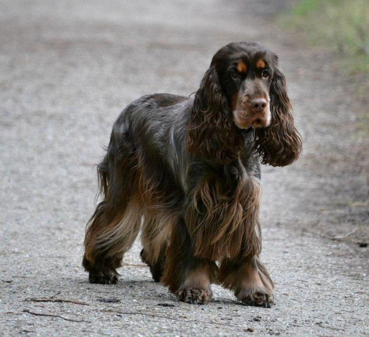From Luna's Star Engelse Cocker Spaniels | Dogs: English ...