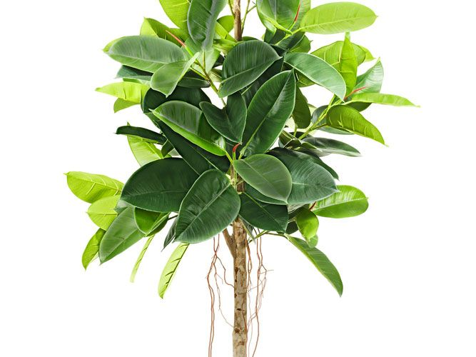 1000 id es sur le th me ficus elastica sur pinterest for Plante interieur