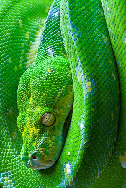 Green Tree Python (New Guinea)   WOW.. pretty green color.   Snake... ummm not so much.  YUCK.   LOL
