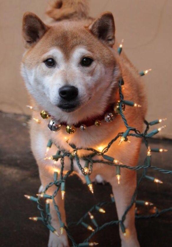 74 best doge images on Pinterest | Shiba inu, Doge und Dachboden