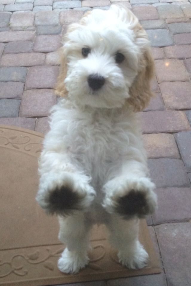 Cutest Labradoodle puppy. I want! I want!! I want!!!