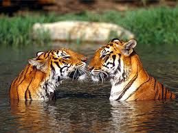 Absolute BeautyWild Cat, Big Cat, Cute Animal, Bengal Tigers, Beautiful Animal,  Panthera Tigri, Amazing Animal, Animal Kisses, Tigers Kisses