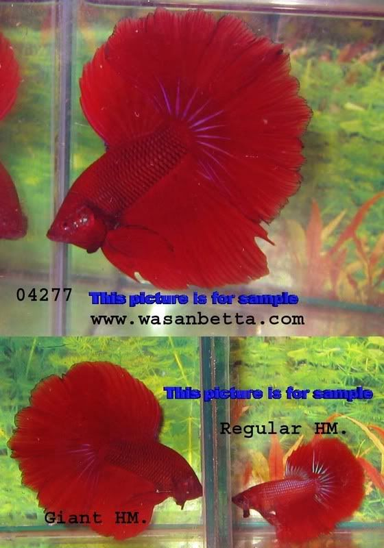 861 best betta splendens images on pinterest beta fish for Giant betta fish for sale