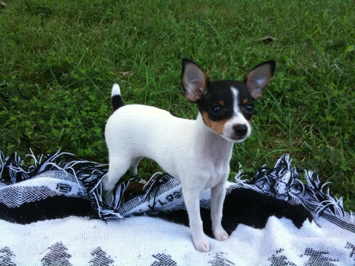 Gidget as a baby. Toy fox terrier dog. | Dogs | Toy fox ...