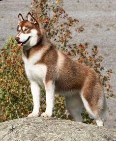 Hermoso husky siberiano rojo.