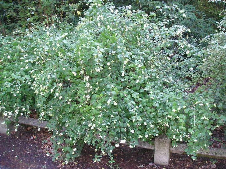 symphoricarpos albus   ... ornementaux, feuillus Symphorine blanche, Symphoricarpos Albus