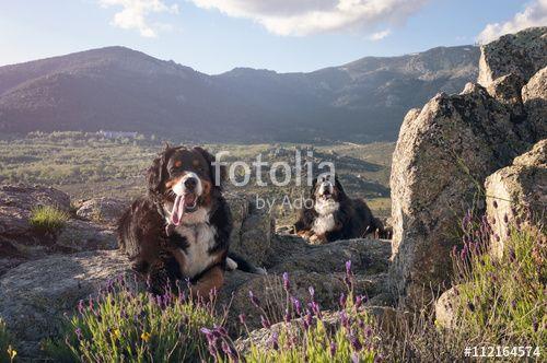 """Descargue la foto libre de derechos """"Couple of dogs lying on the mountain peak"""" creada por addictivestock al precio más bajo en Fotolia.com. Explore nuestro económico banco de imágenes para encontrar la foto perfecta para sus proyectos de marketing."""