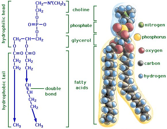 10 best Macromolecules – Lipids (Phospholipids) images on Pinterest