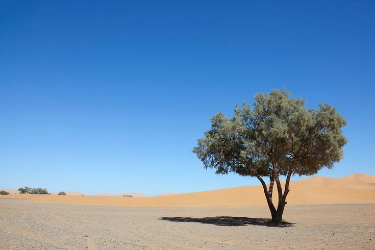 Image result for the beautiful tree in desert camel trimming