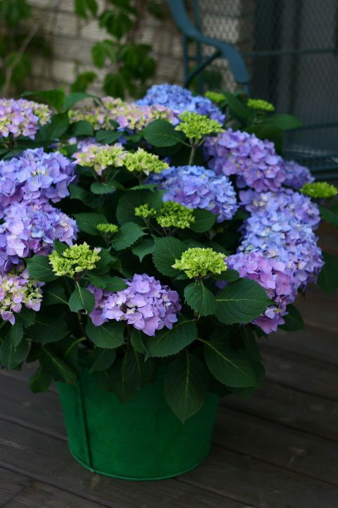 Best for blue color | Let's Dance Rhythmic Blue: Petite rebloomer with vibrant blue flowers depending on soil chemistry. Click through to find some of the best hydrangeas based on your climate and garden.
