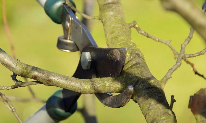 A continuación conoceremos a fondo cómo y cuándo podar árboles frutales. ¿Lo vemos?