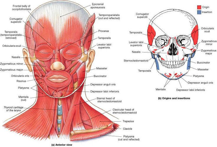 muscles of facial expression | brass players should take particular care to avoid tensing the muscles ...