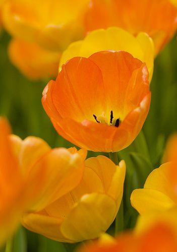 Daydream Tulip: Simple Beautiful, Beautiful Tulip, Daydream Tulip, Tulip Orange, Orange Tulip, Beautiful Flowers, Orange Flowers, Beautiful Daydream, Yellow Tulip