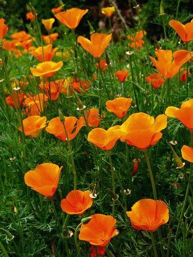 The golden poppy, aka California poppyCalifornia Poppies, Favourite Things, Image, Orange Poppies, Gardens Flow, Fun, Gardens Outdoor, Golden Poppies, Gardens Growing