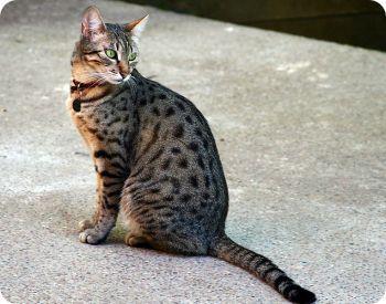 Las 5 razas de gato mas pequeños   Gatos domésticos