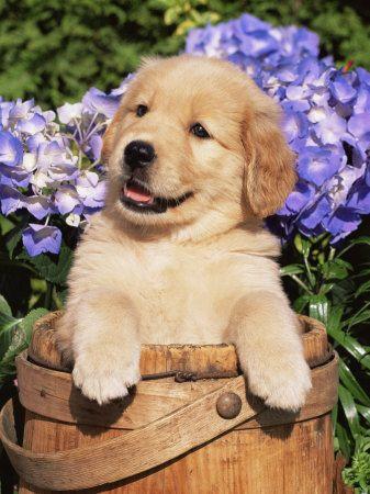"""Golden Retriever - """"Kleinkind"""" bei einer Foto-Pose in einem Holzeimer - sooo... süß :-)"""