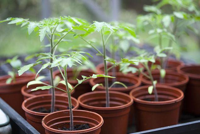 Los horticultores apasionados del cultivo de tomates siempre andan a la busca de la panacea que les permita disfrutar de unos sabrosos tomates. El tomate es una planta muy delicada y no hay ninguna…