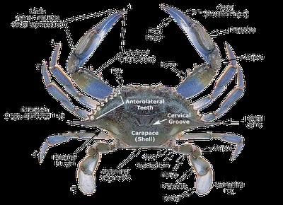 Blue Crab  The Class Malacostraca inlcudes crayfish, crabs, lobsters and shrimps. Typical features of malacostracans include a body divided into two sections (a combined head and thorax called a cephalothorax, and an abdomen); an exoskeleton with a large plate (carapace) covering the cephalothorax; stalked, compund eyes; and two pairs of antennae.