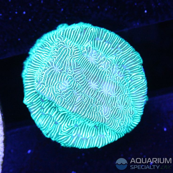 Incredible Hulk Lepto - Leptoseris SPS Coral #AquariumSpecialty
