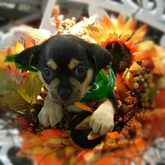 My mini Meagle named Tucker! Min Pin + Mini Beagle = Meagle :)
