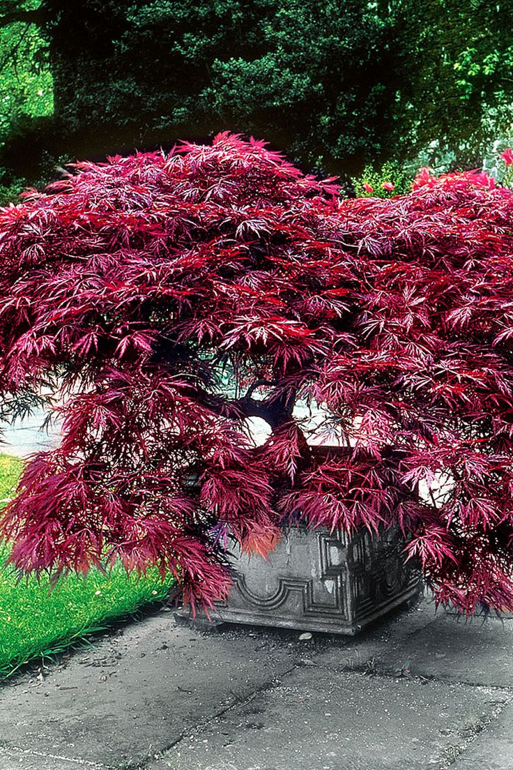 469 best japanese maple trees images on pinterest japanese maple acer palmatum and japanese. Black Bedroom Furniture Sets. Home Design Ideas