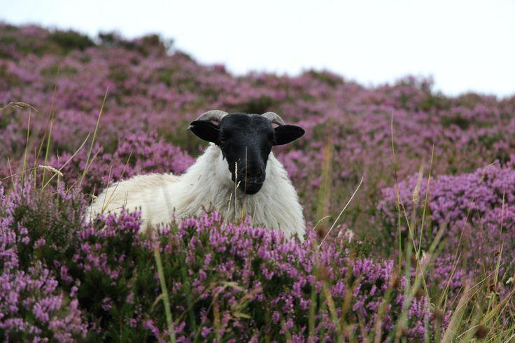 best 25 black faced sheep ideas on pinterest sheep