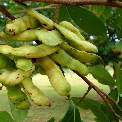 Frutas de A a Z - Inga