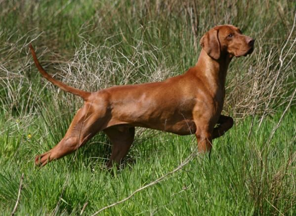 Hunting - Hungarian Vizsla - One of the few breeds that can work as both a pointer and a retriever, plus their puppies are super cute.