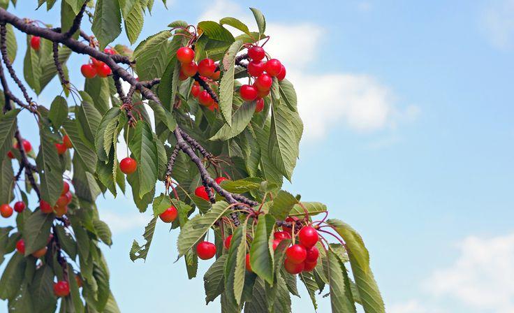 25 bezaubernde kirschbaum pflanzen ideen auf pinterest. Black Bedroom Furniture Sets. Home Design Ideas