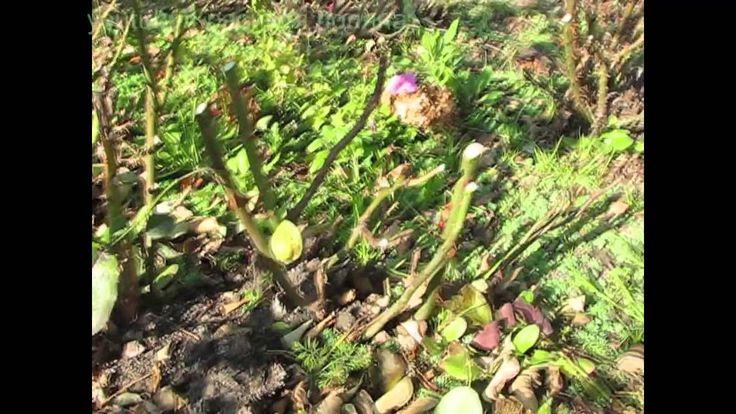 Как обрезать розы и укрыть на зиму, наш проверенный способ обрезки роз