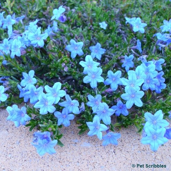 Lithodora: Evergreen and Electric Blue Radiance -- a perennial that is totally easy-care for your garden!