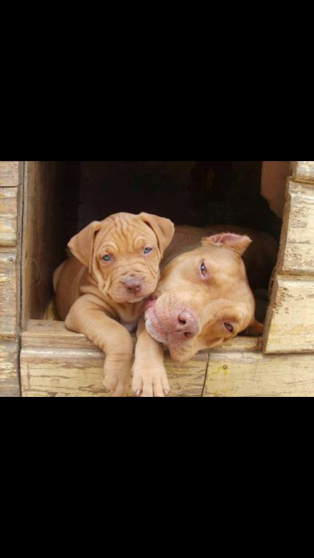 Beautiful beautiful red nose pitbulls!