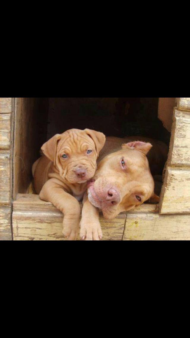 Beautiful beautiful red nose pitbulls!