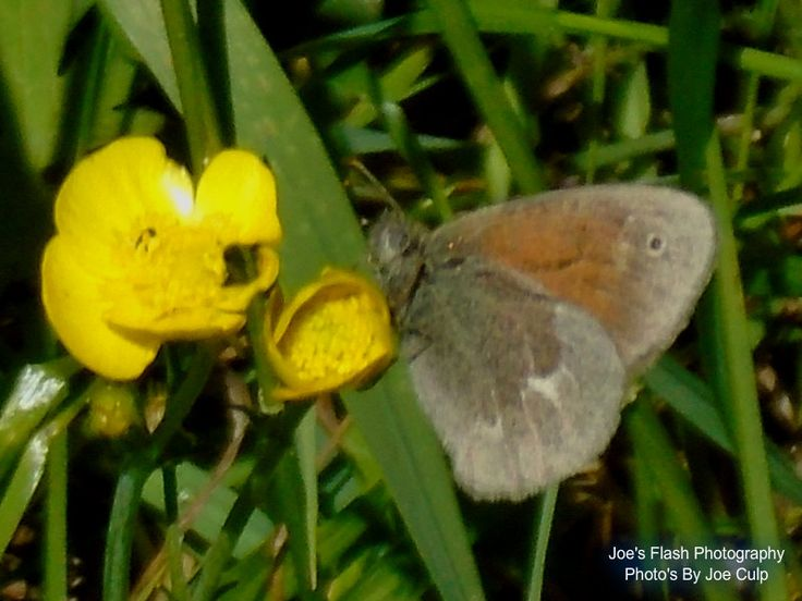 A Brown moth on a Buttercup