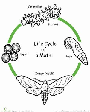 color the life cycle moth