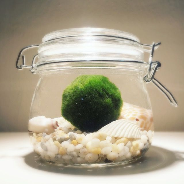 Marimo Moss Ball                                                                                                                                                                                 More