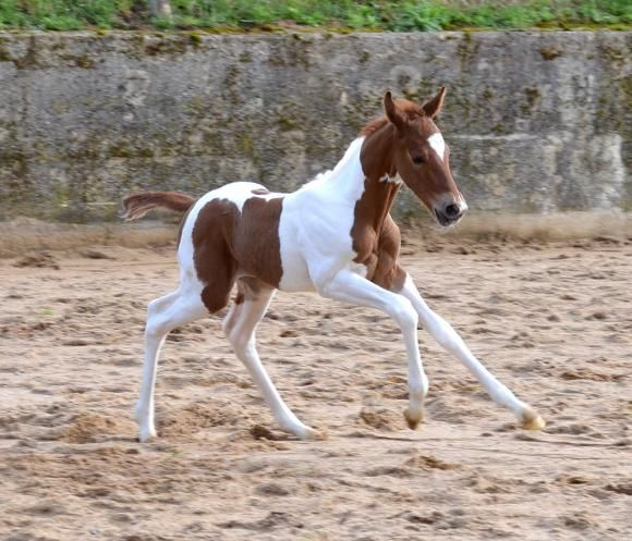 paint horse filly for sale