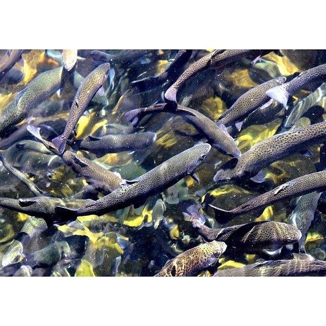 25 best ideas about fish hatchery on pinterest for Durango fish hatchery