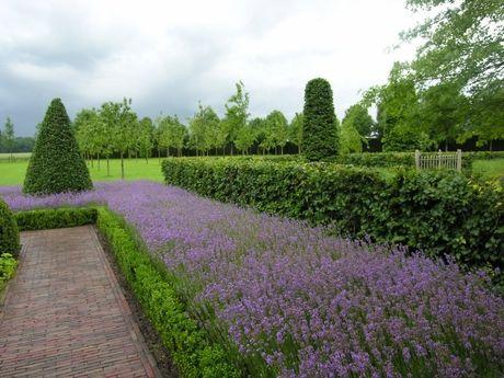 lavender and box border