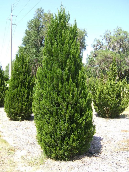 Juniperus chinensis. C...